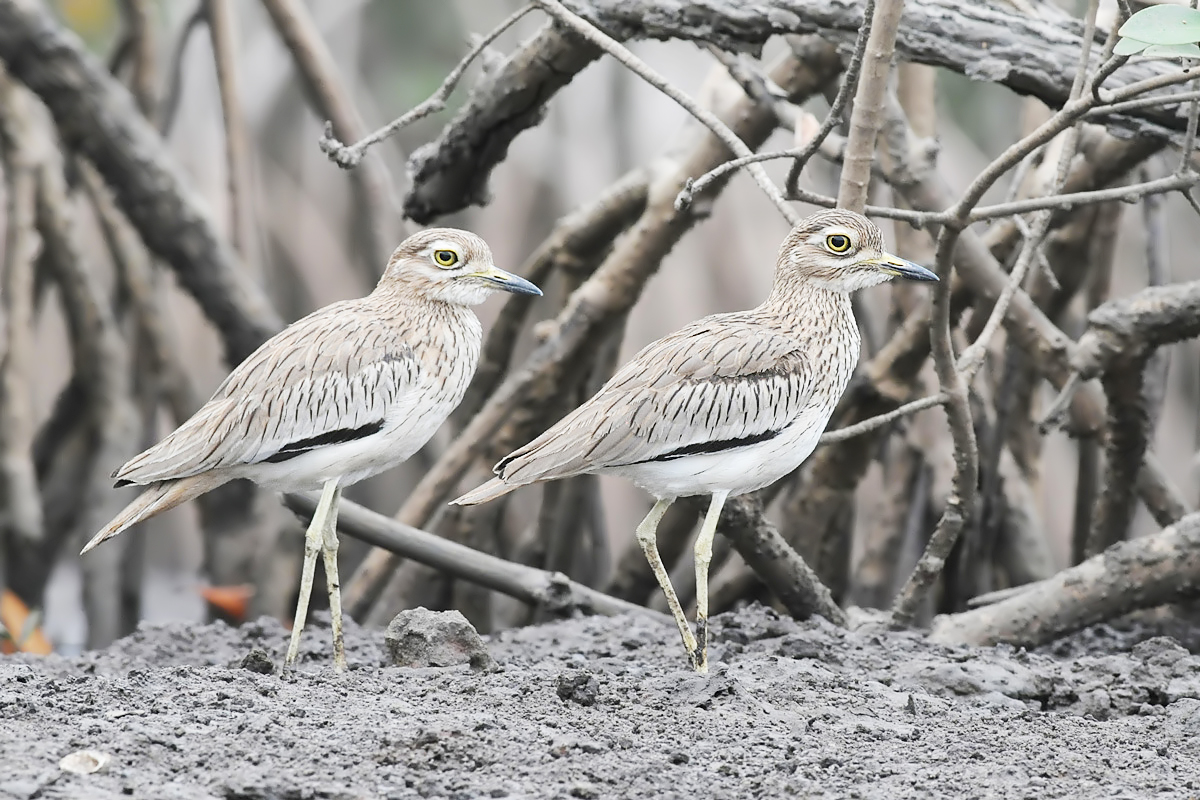 Senegal Thick-knee (Senegalese Griel)