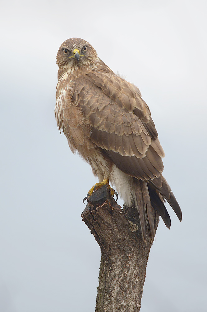 Common Buzzard (Buizerd)