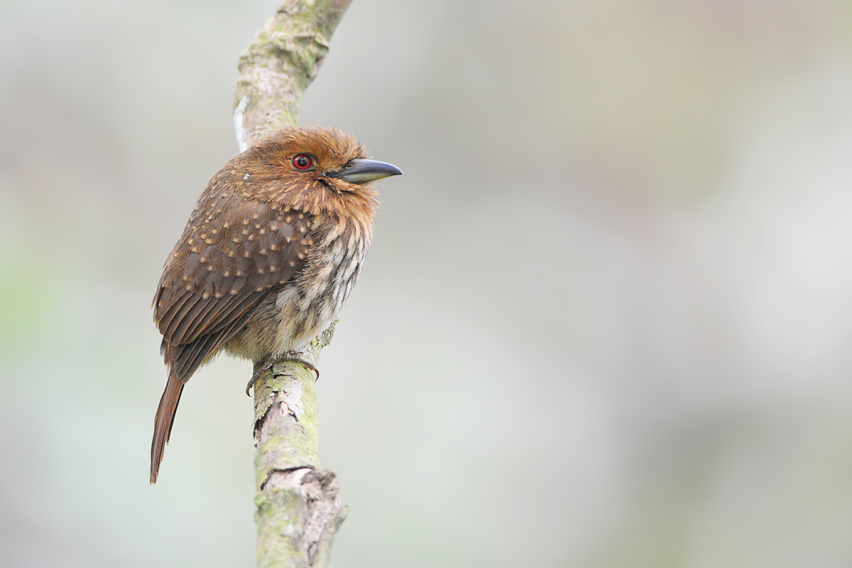 White-whiskered Puffbird (Witsnor-baardkoekoek)