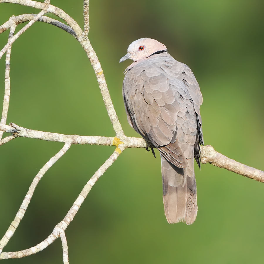 Red-eyed Turtle Dove (Roodoogtortel)