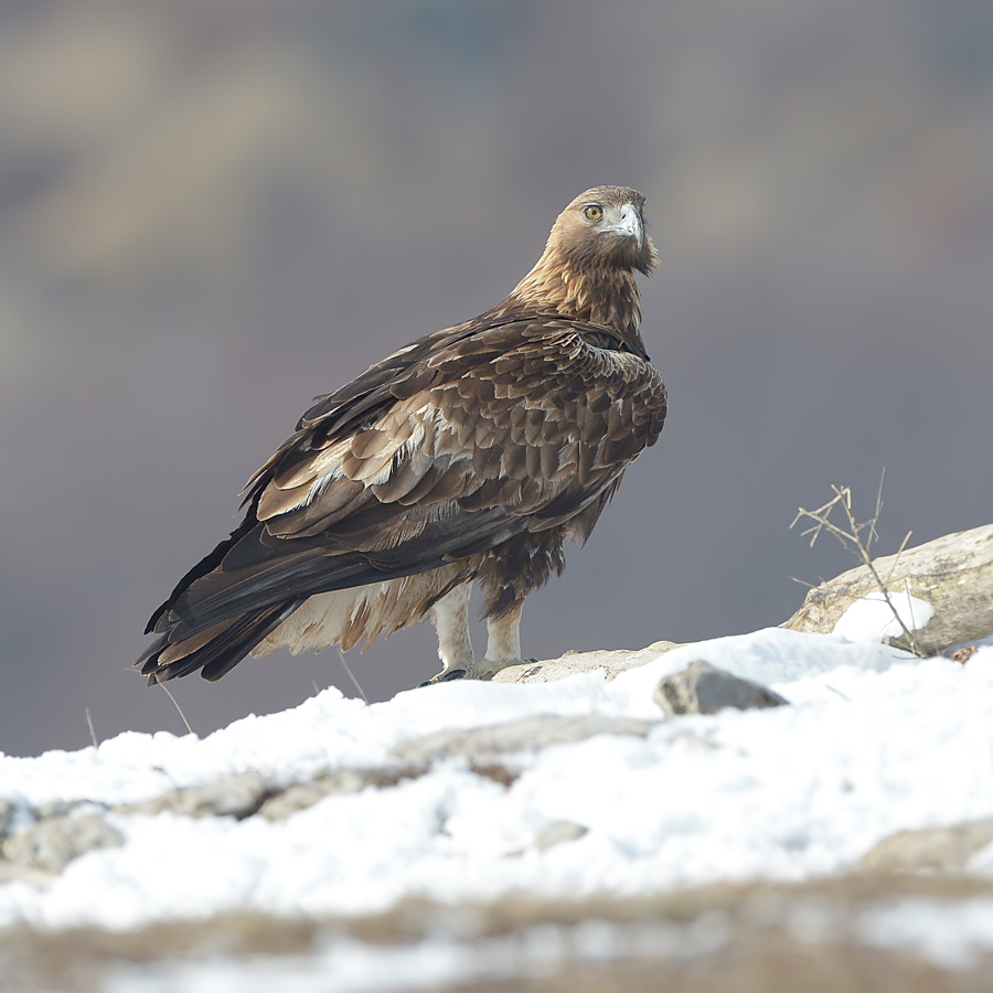 Golden Eagle (Steenarend)