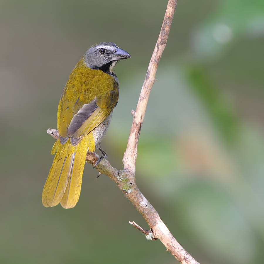 Buff-throated saltator (Bontkeelsaltator)