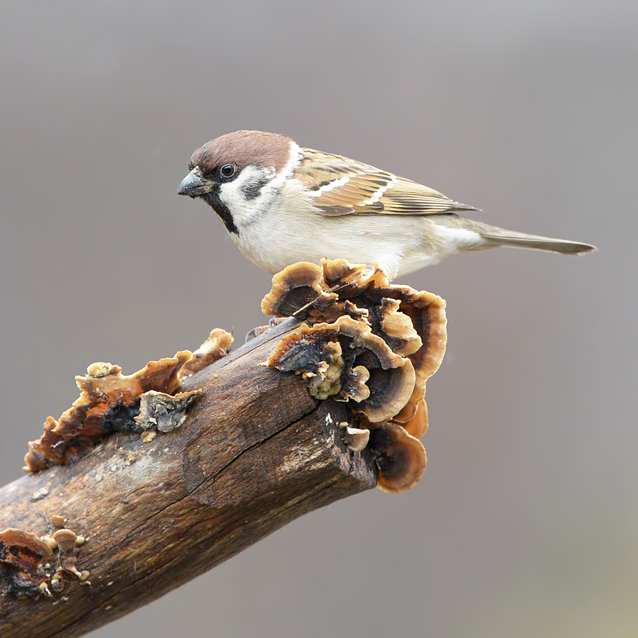 Tree Sparrow (Ringmus)
