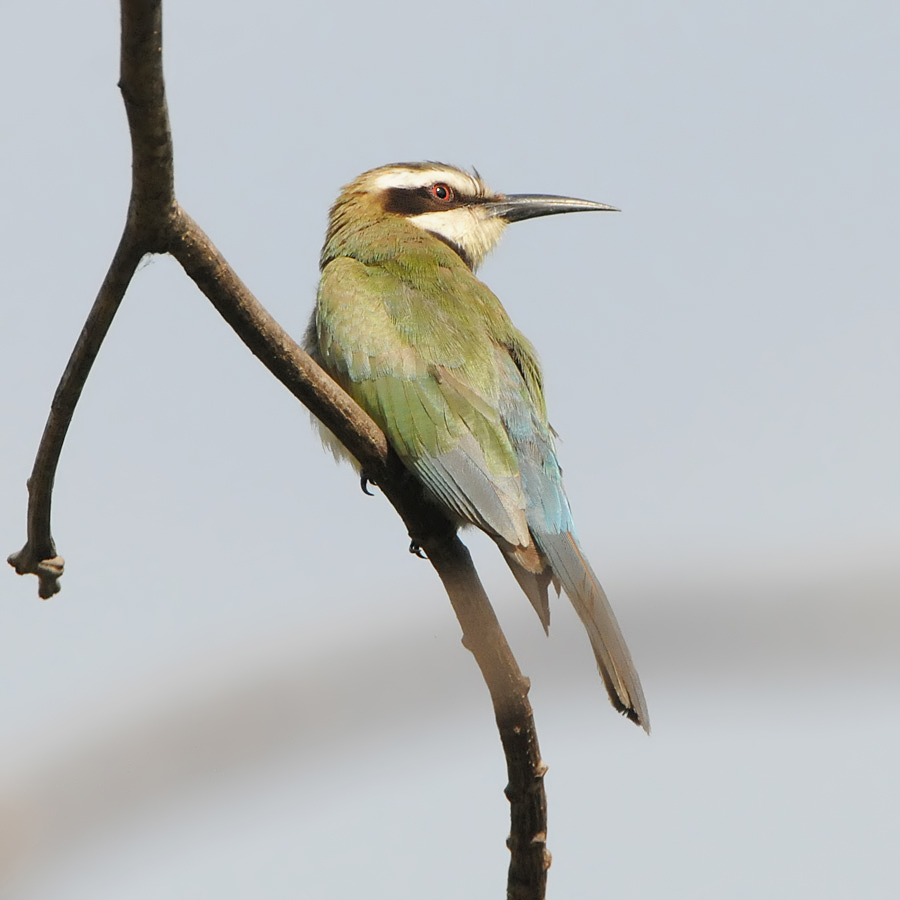 Whiet-throated Bee-eater (Witkeelbijeneter)