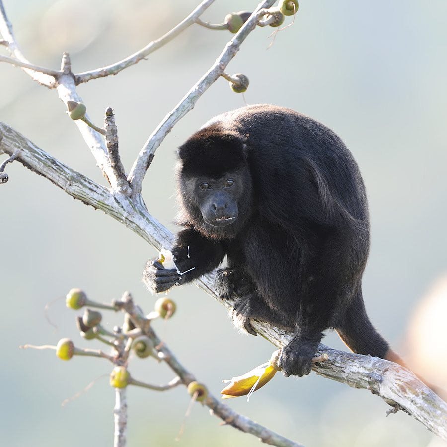 Mantled Howler (Mantelbrulaap)