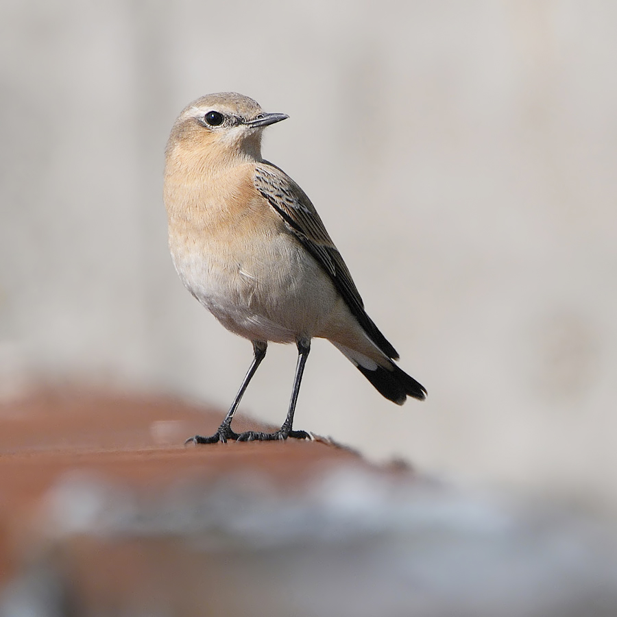 Northern Wheatear (Tapuit)