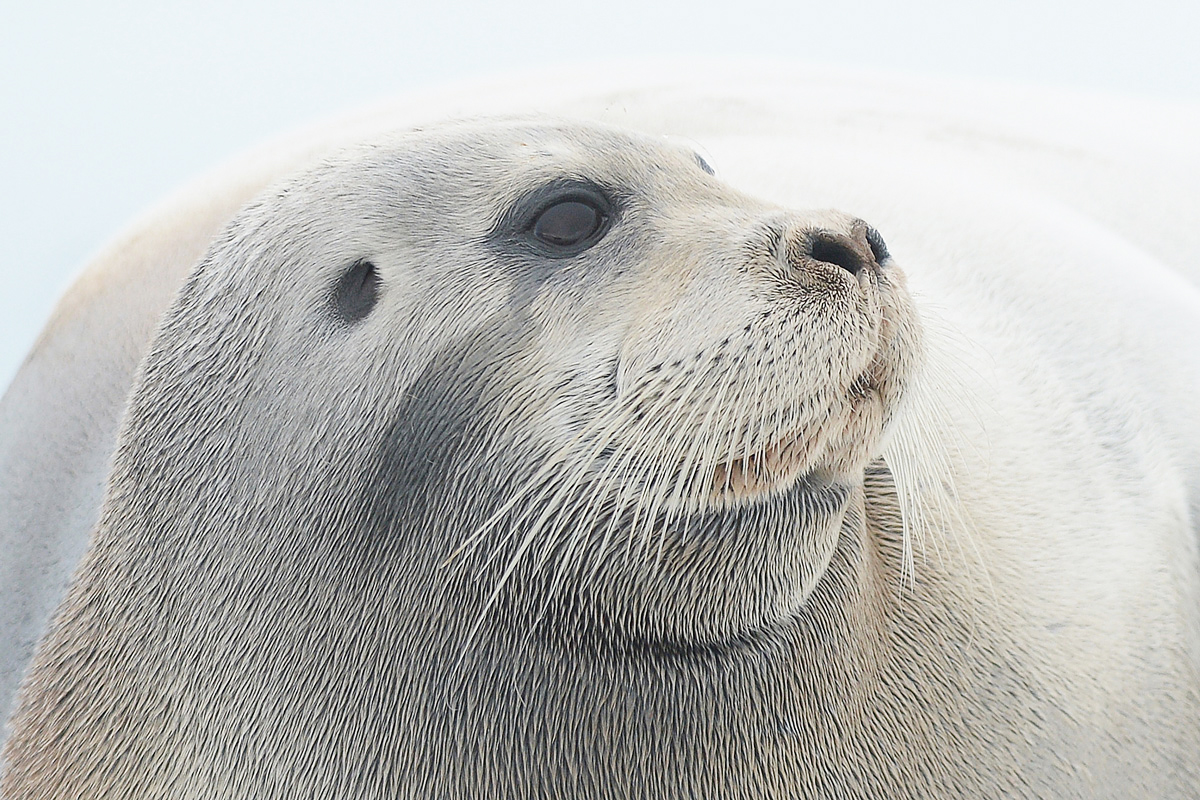 Bearded Seal (Baardrob)