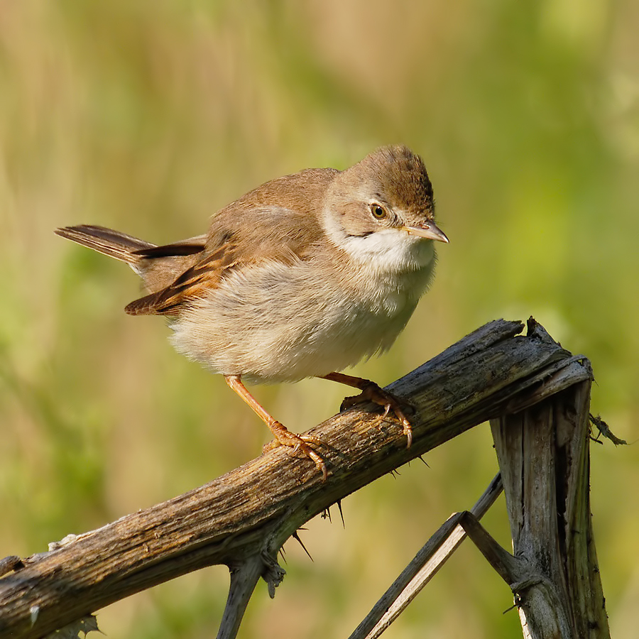 Common Whitethroat (Grasmus)