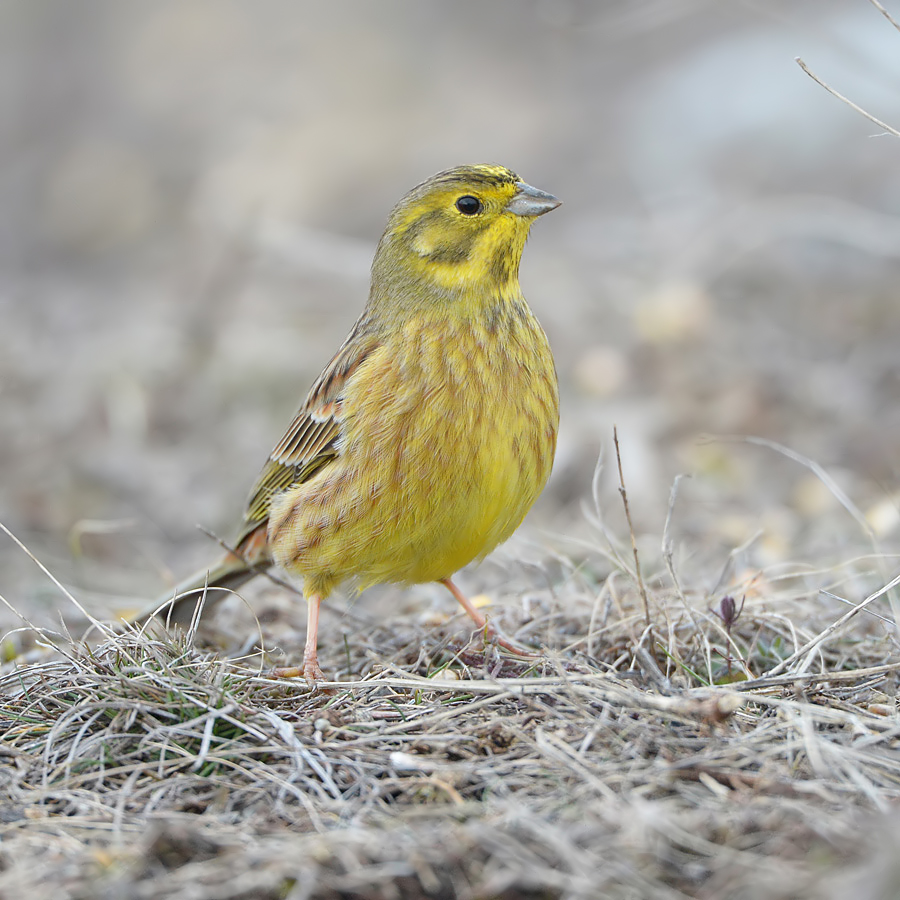 Yellowhammer (Geelgors)