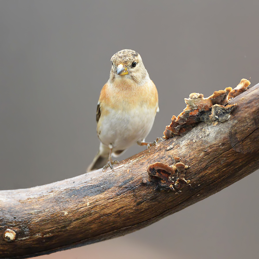 Brambling (Keep)