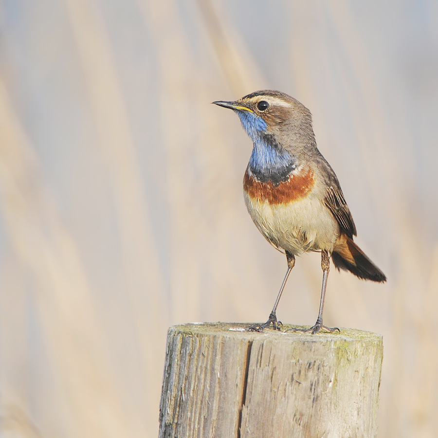 Bluethroat (Blauwborst)